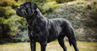 Dědičnost zbarvení srsti u psů se zaměřením na plemeno Cane Corso