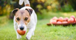 Mohou psi jíst jablka?