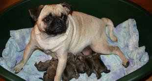 Boříme mýty o psech: Fenka by měla mít alespoň jednou štěňata