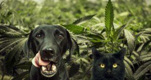 CBD olej pro psy – Zázrak z konopí?!
