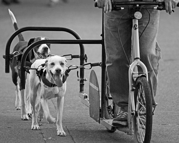 Dog scootering Zapřáhněte psa za koloběžku 2