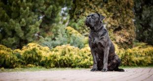 Dědičnost dysplazie kyčelního kloubu u psů