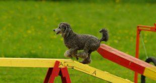 Hledáte vhodný sport pro vašeho psa? Zkuste moderní agility
