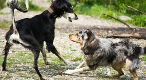 Agresivní pes vůči cizím psům