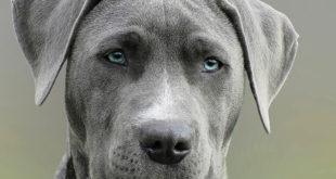 Proč je psí čumák studený a mokrý?