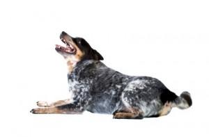 Australský honácký pes, 10.místo