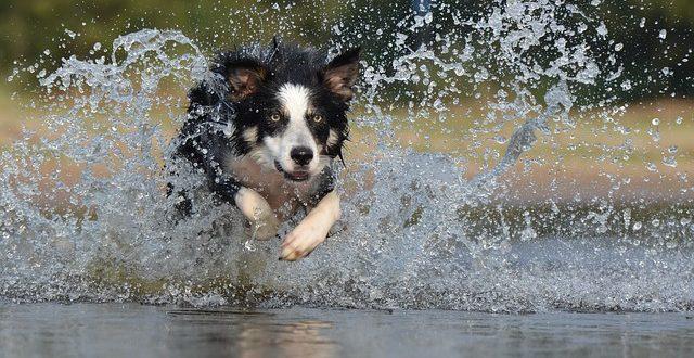 border-kolie-pes-a-vodni-sporty