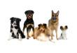 10 nejchytřejších plemen psů na světě