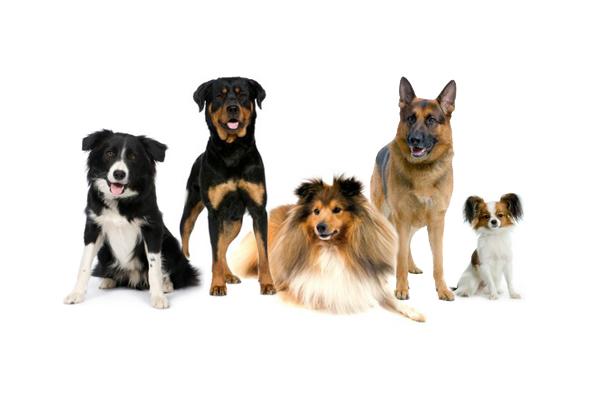 d757d7dfe69 10 nejchytřejších plemen psů na světě