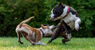 Kupírování uší a ocasu u psů