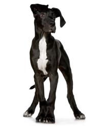 německá doga