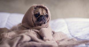 Může mě pes nakazit koronavirem COVID-19?