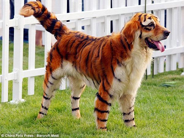 Pes - tygr