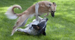 Pořízení štěněte 4.díl – Socializace mezi psy